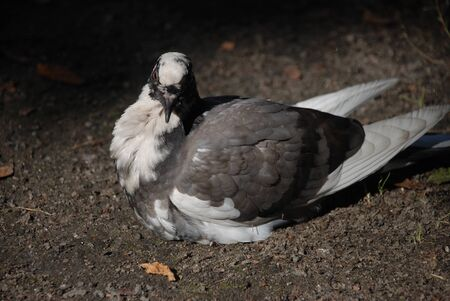 The bird called pigeon, with balck and white colors is sitting on the organic mold ground