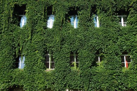 The House is overgrowth with bindweed leafs, covered with ivy vine leafs. The windows are not covered with bindweed. 版權商用圖片