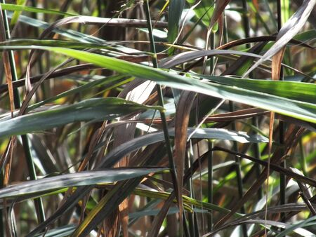 A beautiful grass with bent leafs and bud. 版權商用圖片