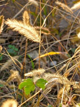 The relaxation of grass with feather look buds, on sunshine. 版權商用圖片