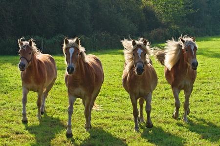 フランダースの草原でギャロッピング Haflingers 写真素材