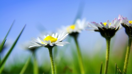 Daisies in the sun with blue sky photo