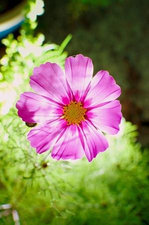 Cosmos Sensation Transparent Flower in my Garden Stock Photo