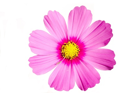 Pink flower Cosmos sensation isolated on white Zdjęcie Seryjne - 10341501