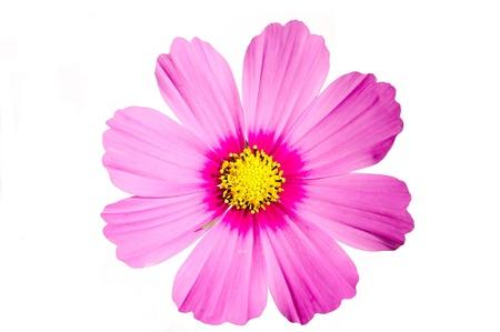 Różowy kwiat wrażenie Cosmos samodzielnie na biaÅ'ym tle Zdjęcie Seryjne