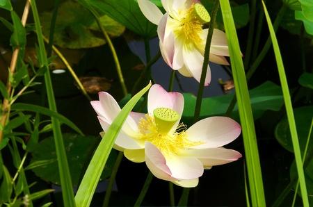 Lotus Flowers in pond Stock Photo - 10462171