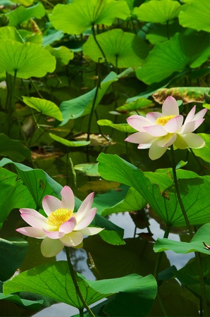 Two Lotus Flowers in Pond Stock Photo - 10462172
