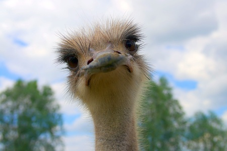 Ostrich portrait in spring blue sky with white clouds Stock Photo