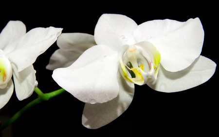 Close up of white orchid on black background Stock Photo - 12354338