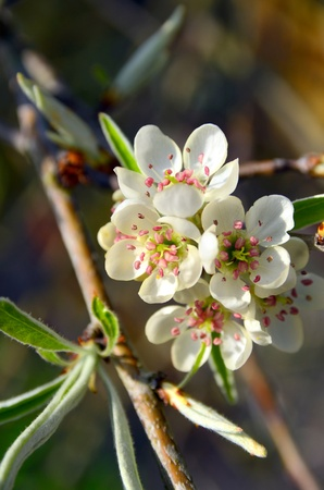 Close Up of the flowers of a pear blossom Stock Photo - 13037456