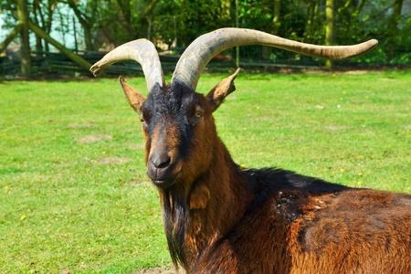 Billy-goat with beard Stock Photo - 13320735
