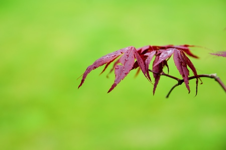 Red  Japanese maple leaves on a green background Stock Photo