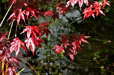 Red Japanese Maple Tree leaves above a pond after rain Stock Photo - 13533608