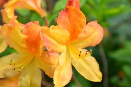 detail of orange flower of Azalea mollis Stock Photo - 13567875