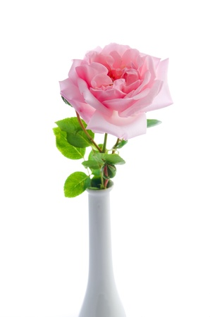 Pink rose 'New Dawn' isolated on white Stock Photo - 14038201