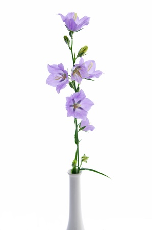 Campanula persicifolia, bell flower isolated on white Stock Photo - 14038200