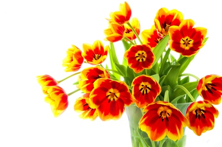 Tulips in red and yellow isolate on white photo