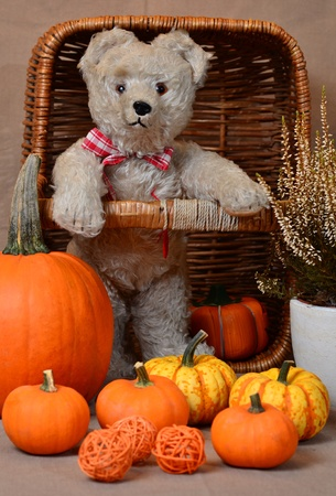 Misses Bear and Her Pumpkins on Halloween Stock Photo