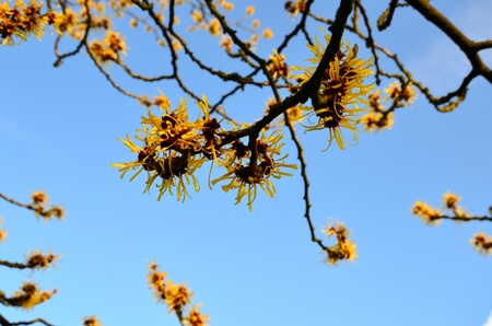 Witch Hazel in flower in January against clear blue sky Stock Photo - 17300295