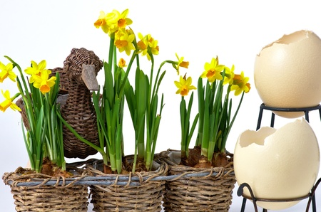 Easter eggs and daffodils on white background Stock Photo - 18066672