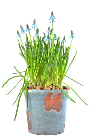 Blue muscari in spring on white background Stock Photo - 18933705