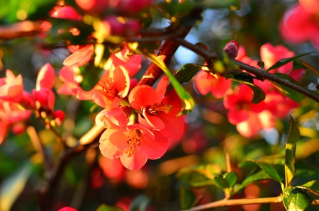 Wild Apple blossom in the evening sun Stock Photo - 19383563