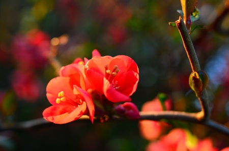 Wild Apple blossom in the evening sun Stock Photo - 19383539