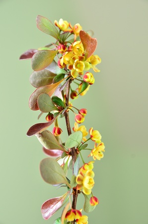 Blooming berberis with red leaves and yellow flowers Stock Photo - 19610676