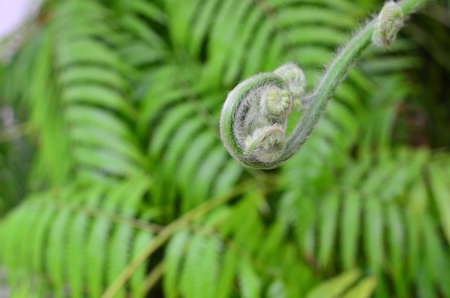 unfolding: Green young ferns details
