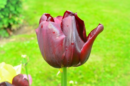 Black tulip in the sun Stock Photo - 20235698