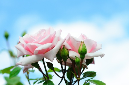Pink Roses New Dawn against a blue sky and big white clouds Stock Photo