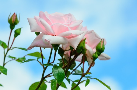 Pink Roses 'New Dawn' against a blue sky and big white clouds Stock Photo - 20434618
