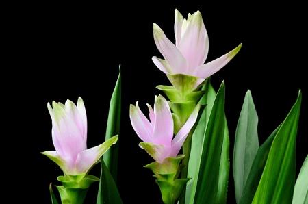 Pink curcuma flowers on black background Stock Photo - 20776178