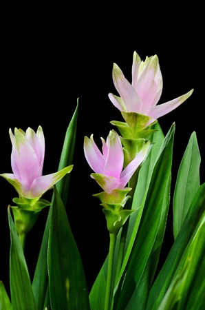 Pink curcuma flowers on black background Stock Photo - 20776179