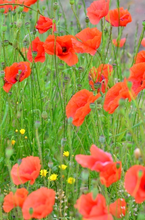 Field with red poppies detail Stock Photo - 20776181