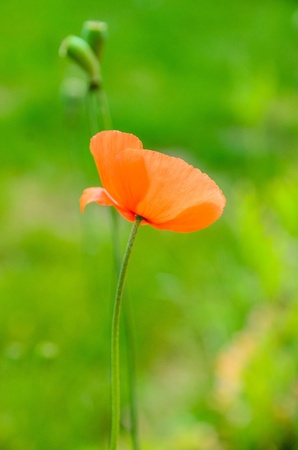 Red poppy on green background portrait Stock Photo - 21381022
