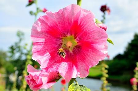 alcea: Pink Alcea rosea con abeja del vuelo Foto de archivo