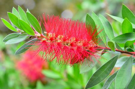 laevis:  Red bottle brush flower, Callistemon Laevis, Provence, France Rince Bouteille