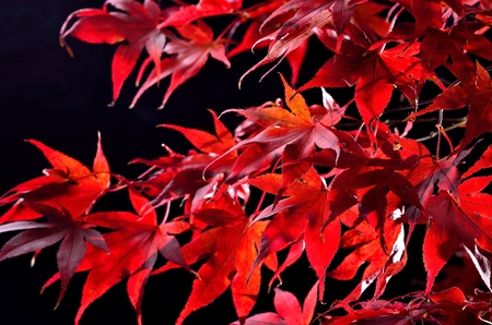 Japanese maple tree red autumn colour, Acer palmatum on black background Stock Photo - 23912234