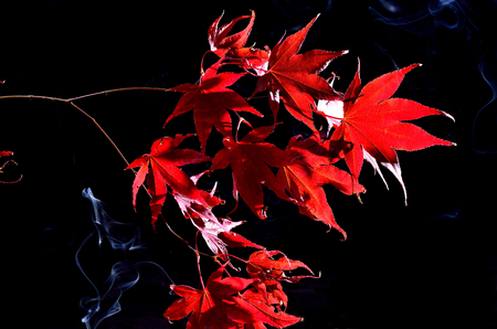 Japanese maple tree red autumn colour, Acer palmatum on black background Stock Photo - 23912257