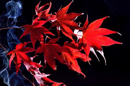 Japanese maple tree red autumn colour, Acer palmatum on black background Stock Photo - 23912258