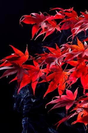 Japanese maple tree red autumn colour, Acer palmatum on black background Stock Photo - 23912259