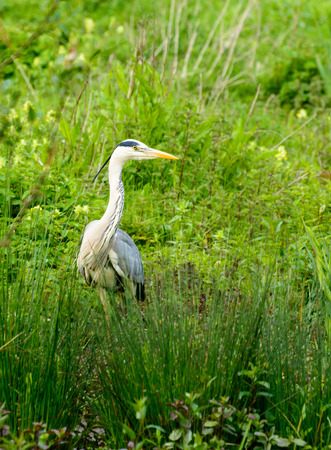 Great blue heron in nature reserve Bourgoyen Ghent, Belgium photo