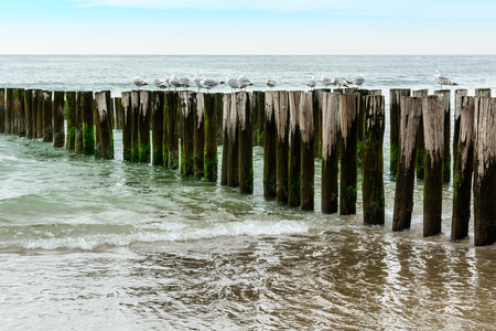 breakwaters: wooden breakwaters with seagulls on the beach, northsea in Domburg Holland