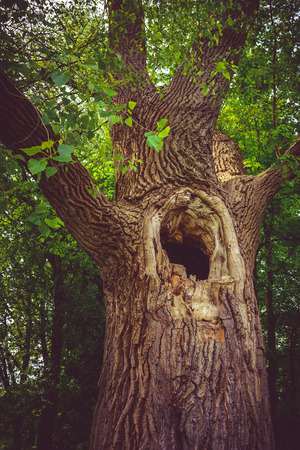 hollow tree: Old hollow tree in the forest Stock Photo