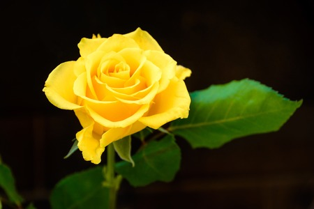 Closeup of a yellow rose on dark background Stockfoto