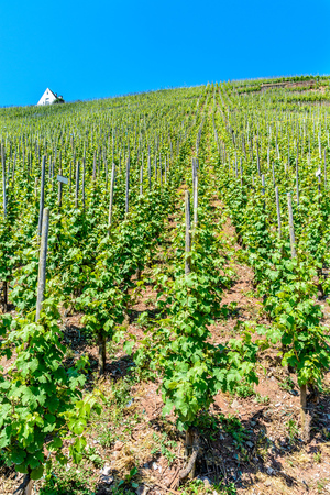 moseltal: Vineyard on the hills in the moselle valley  along the river Stock Photo