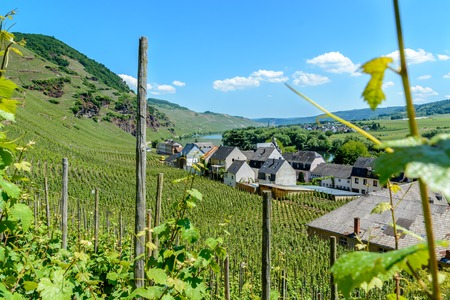 moseltal: Vineyards on the hills in the moselle valley  along the river