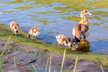 alopochen: Egyptian goose (Alopochen aegyptiaca) with little chicks Stock Photo