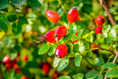 Red rosehips closeup in autumn sun